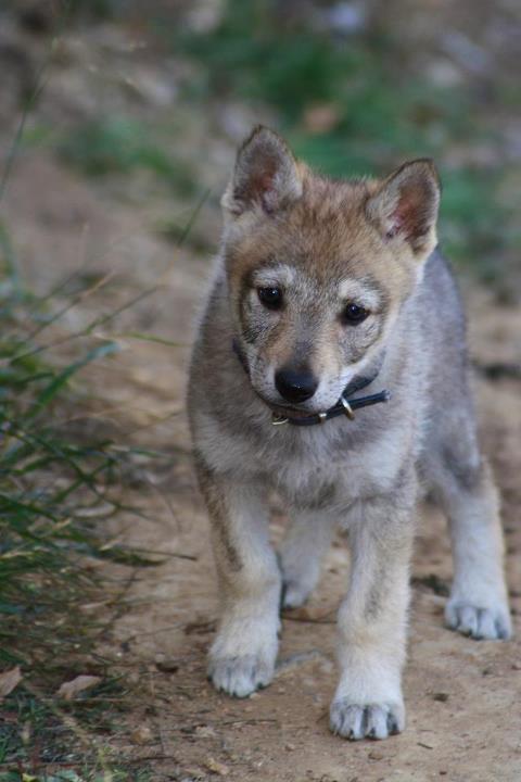 Resultado de imagen de perro lobo cachorro